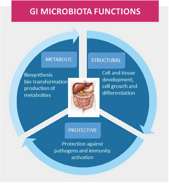 The gastrointestinal (GI) microbiota functions in maintenance of health, including protective, structural, and metabolic roles.