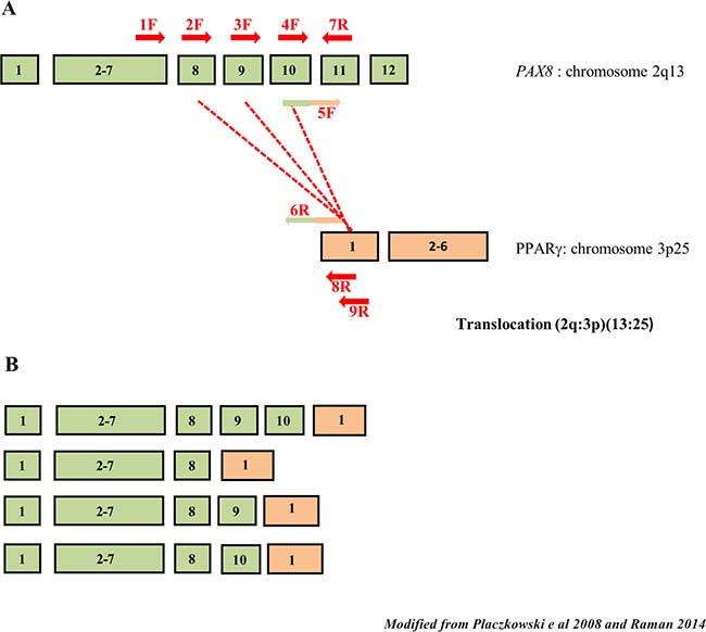 Schematic drawing of PAX8 splicing and PAX8/PPARγ rearrangements.