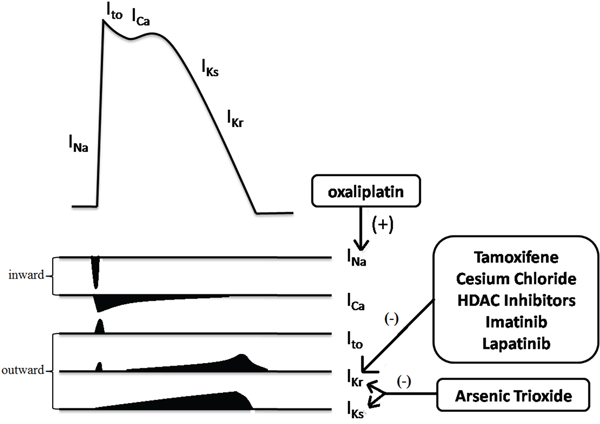 Multiple ion currents involved in the myocardial action potential.