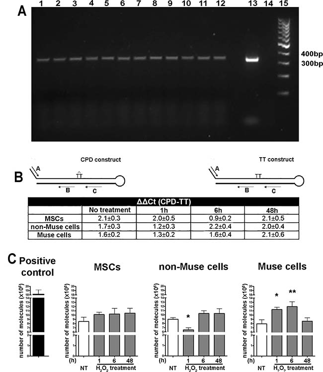 Enzymatic assays for detection of DNA repair proficiency.