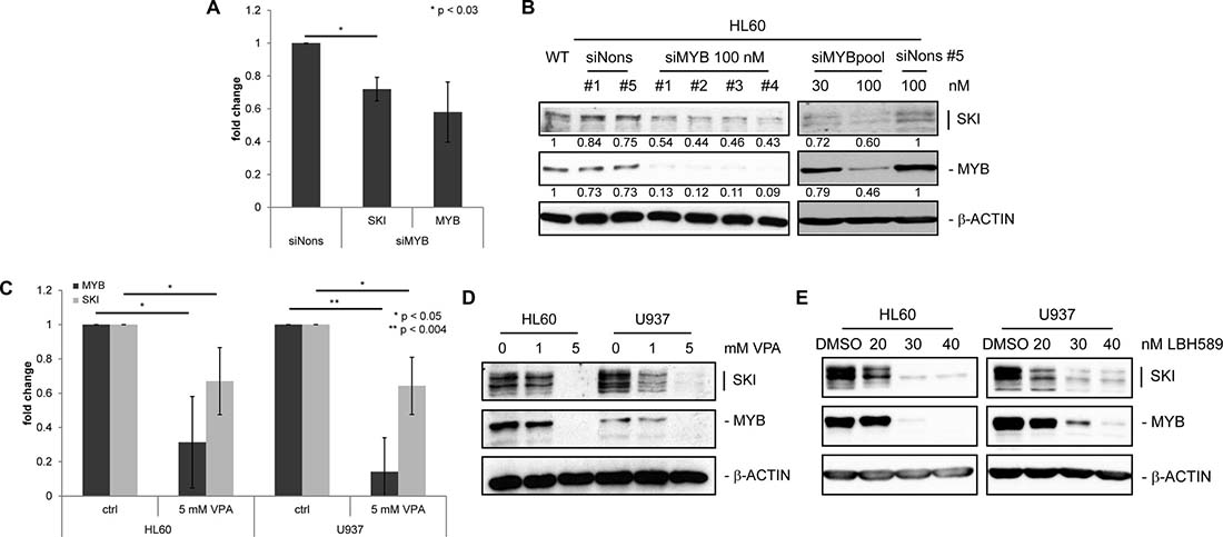 SKI expression is decreased upon down-regulation of MYB in AML cell lines.