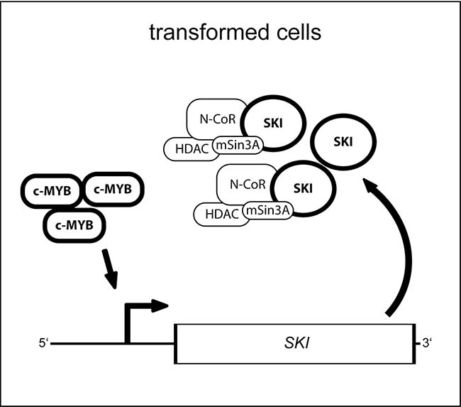 Model for the function of the MYB transcription factor and its target gene SKI in oncogenic cells.