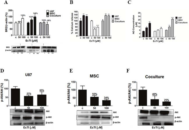 The Effect of EcTI on the expression of the bradykinin receptor 2 (BR2), oxide nitric (NO), and Akt protein.