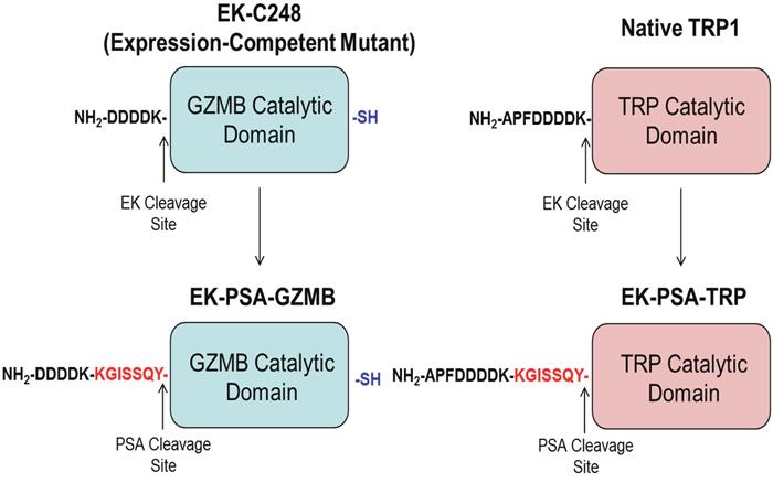 Schematic of EK-PSA-GZMB and EK-PSA-TRP pro-drugs.