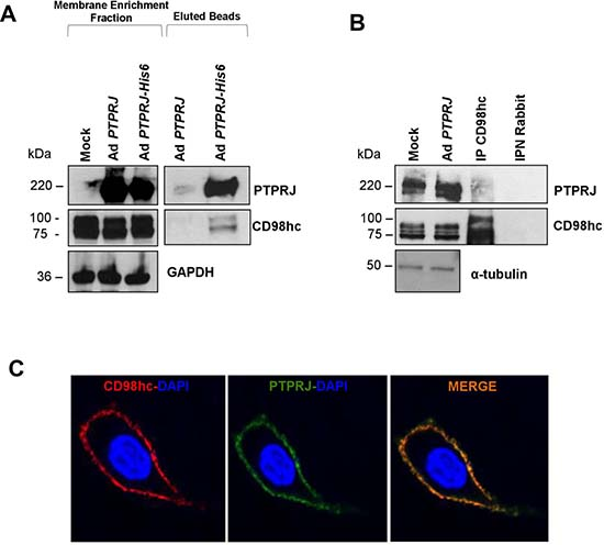 PTPRJ interacts and colocalizes with CD98hc.