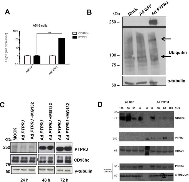 PTPRJ mediates CD98hc stability and proteasome degradation.