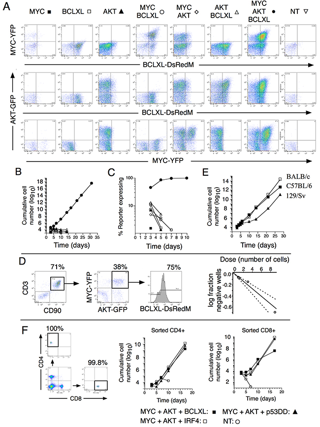 In vitro-transformation of mature T cells through co-expression of MYC, AKT and BCLXL.
