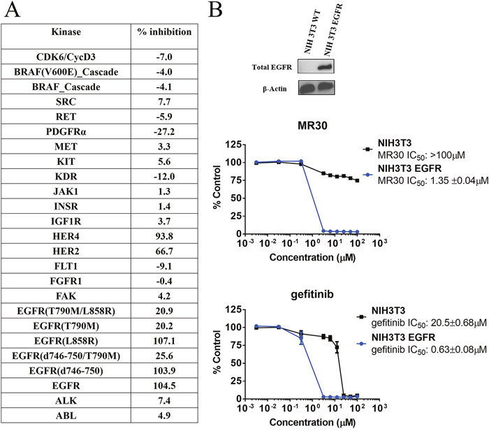 Preferential targeting of EGFR and its variants by MR30 in isolated and cell-based assays.