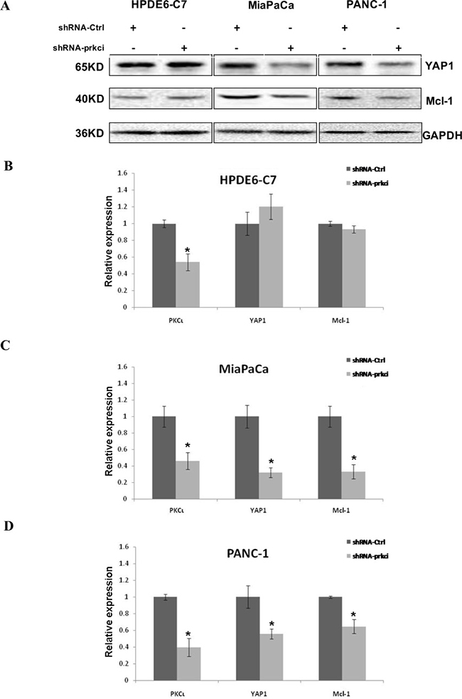 Downregulation of YAP1 and Mcl-1 in MiaPaCa and PANC-1, but not HPDE6-C7 cells upon PKCι knockdown by shRNA.