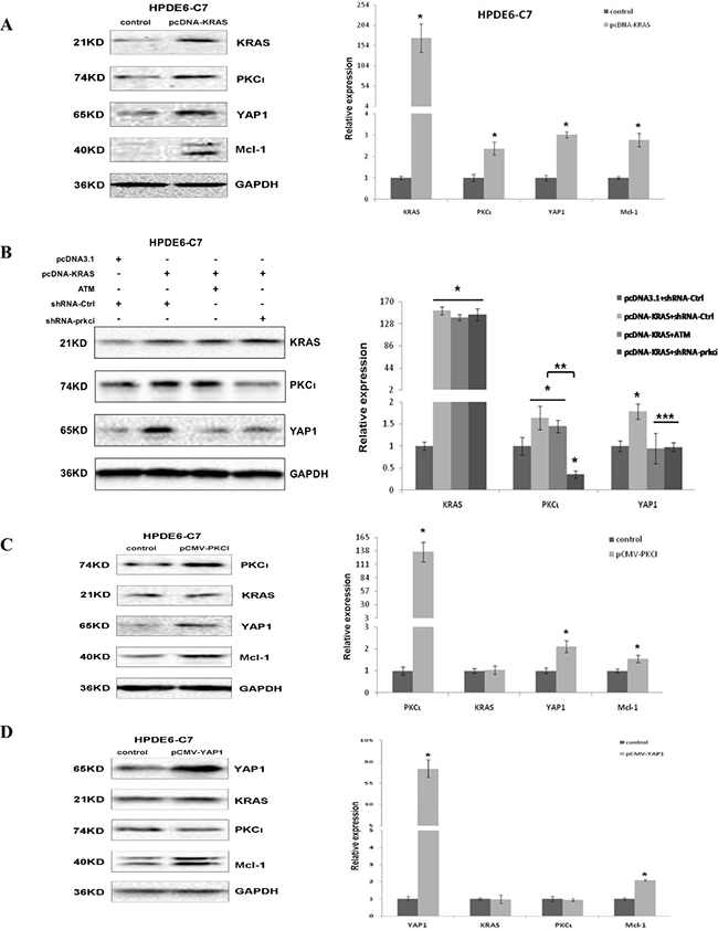 Ectopic expression of KRASG12C causes upregulation of YAP1 through PKCι in HPDE6-C7.