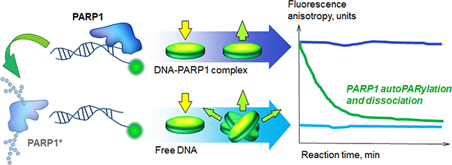 Real-time assay for poly(ADP-ribosyl)ation.