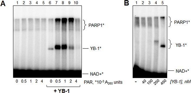 YB-1 and PARP1 interplay is regulated by poly(ADP-ribose).