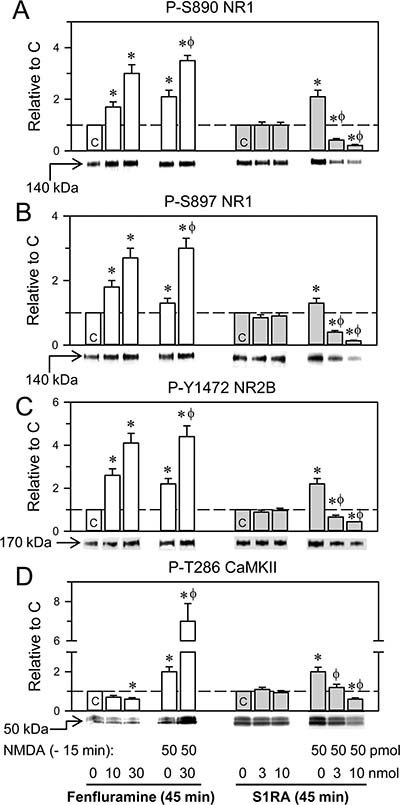 Effects of fenfluramine and S1RA on phosphorylation associated with the NMDAR/CaMKII pathway.