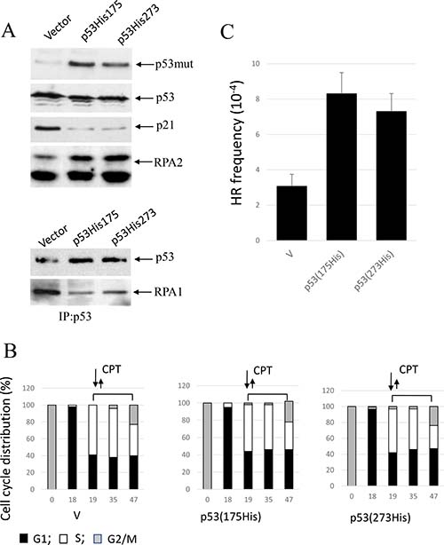Expression of conformational or DNA-binding p53 mutants, p53(His175) and p53 (His273), in A549 cells affects CPT-induced RPA2 phosphorylation and HR.