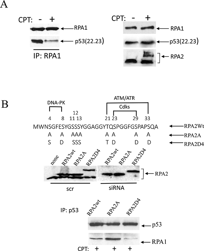 Phosphorylation of RPA in response to replication arrest induced by CPT contributes to the dissociation of the RPA/p53 complex.