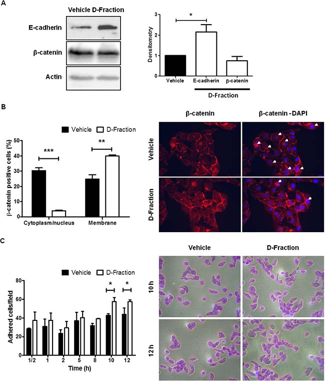 Maitake D-Fraction promotes the intercellular adhesion and cell-substrate adhesion in TNBC MDA-MB-231 cells.