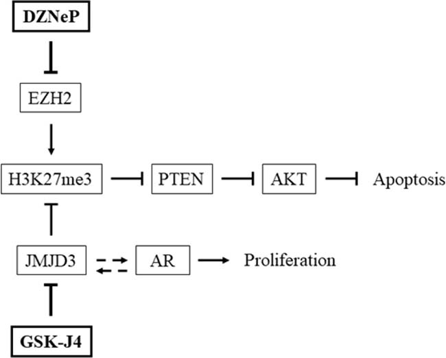 Interaction of GSK-J4 and DZNeP on PTEN and AR pathways.