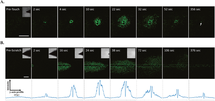 Real-time scratch assay reveals early calcium signaling in MCF-7 cells in response to wounding.