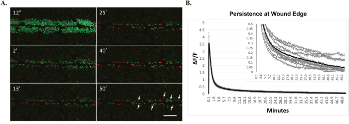 Cells at wound edge show persistent intracellular calcium and remain viable.