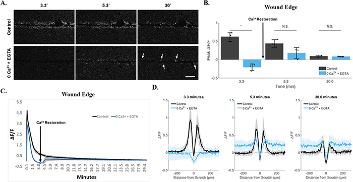 Persistence at the wound edge is regenerated by calcium restoration.