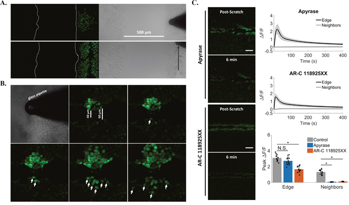 Signal propagation is mediated by extracellular ATP and P2Y2.