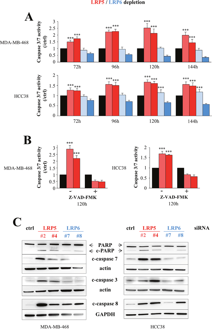LRP5 depletion induces apoptosis more robustly than LRP6 depletion.