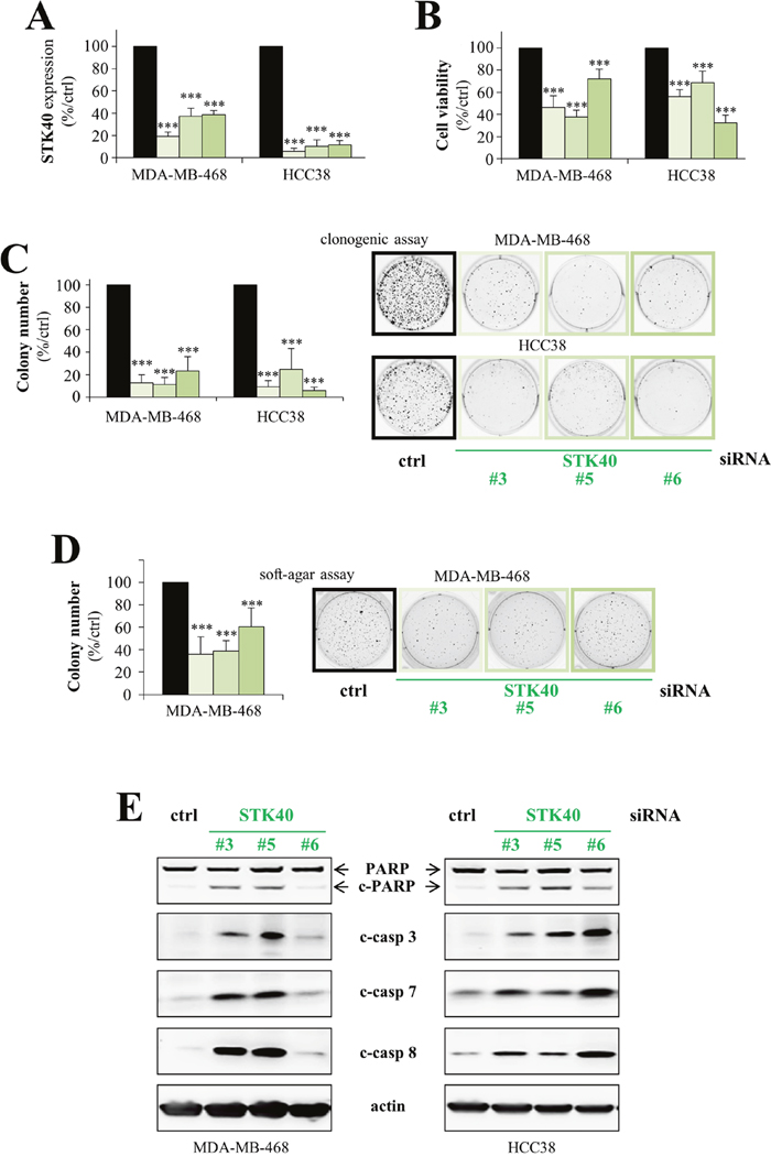 STK40 is a pro-survival protein kinase in breast cancer cells.