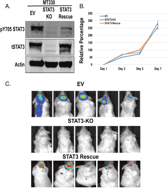 Role of STAT3 on MT330 GBM cell proliferation and tumorigenicity.