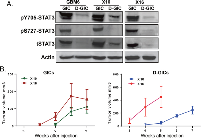 STAT3 phosphorylation and tumorigenicity of GICs and GICs induced to differentiate.