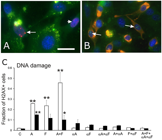 γH2AX assay for DNA repair associated with DNA damage.