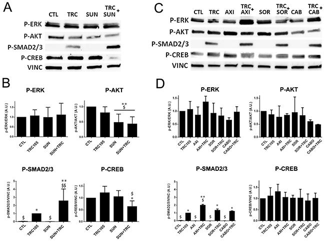 Western blot analysis on CSC-TEC treated with TRC105 alone or in combination with Axitinib, Sorafenib, Cabozantinib and Sunitinib.