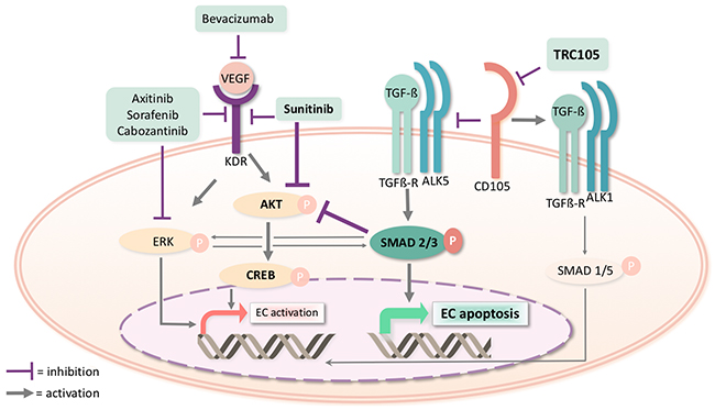Molecular pathways involved in the pharmacological inhibition of CD105 by TRC105 and of KDR by Sunitinib.