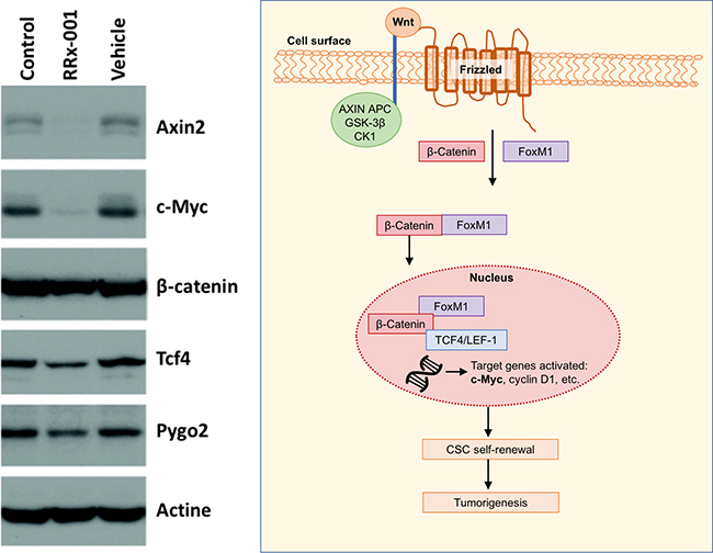 Western blot of analysis of Wnt target genes with Wnt pathway shown to the right.