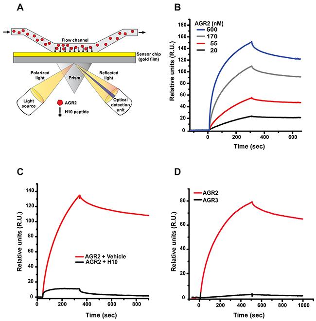 Surface plasmon resonance (SPR) analysis of H10/AGR2 binding.