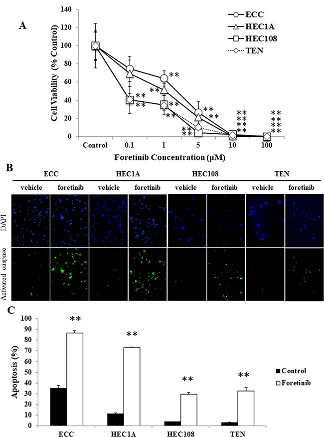 Foretinib induces apoptosis in endometrial cancer cell lines.