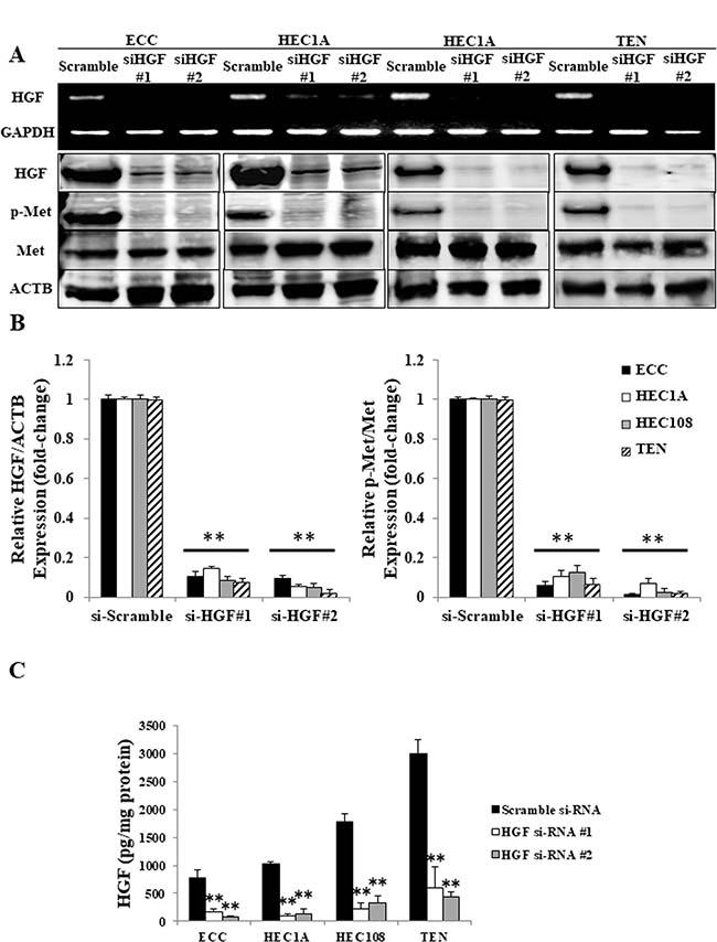 Autocrine HGF/Met signaling in EC cell lines.