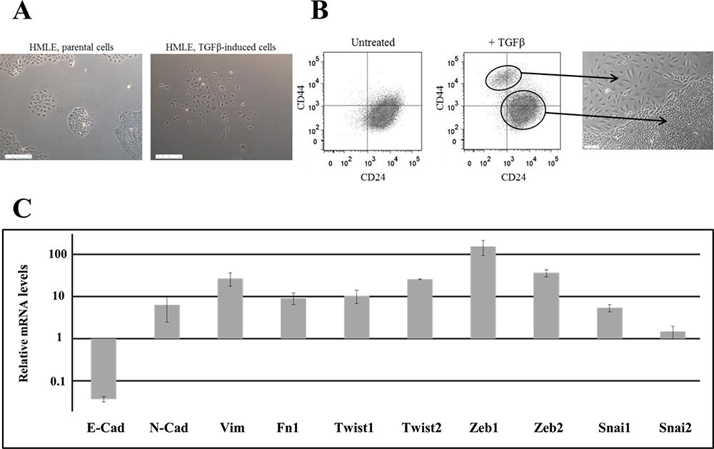Characterization of TGFβ-induced CD24−/low/CD44+ cells.
