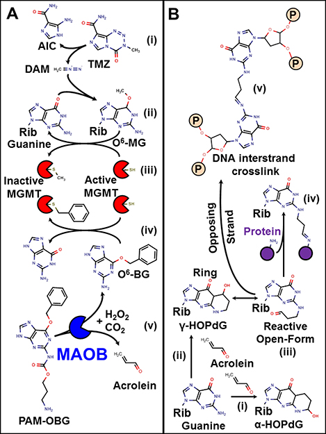 Mechanism of action of TMZ, O6-BG, PAM-OBG, and acrolein.