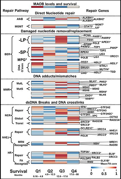 DNA repair enzyme transcript levels and GBM patient survival.