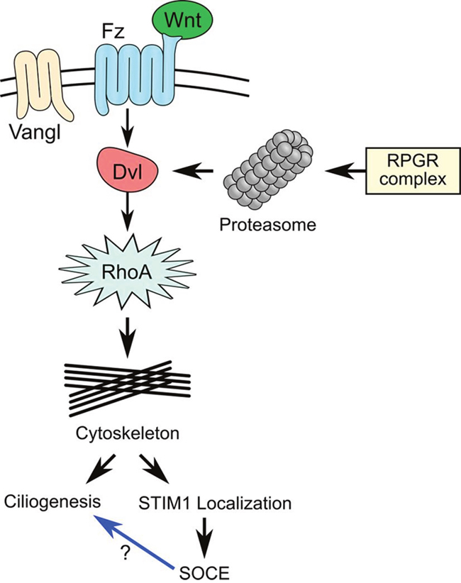 The RPGR protein complex is associated with the planar cell polarity (PCP) pathway.