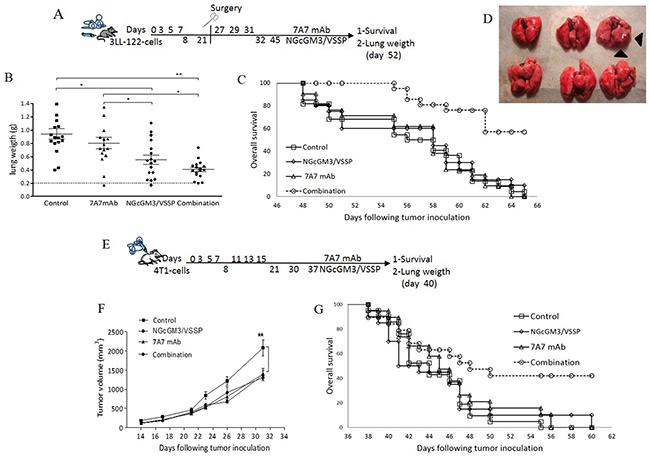 Combinatorial-targeted therapy to EGFR (7A7 mAb) and anti-NGcGM3 (NGcGM3/VSSP vaccine) increase the survival of mice bearing spontaneous metastases.