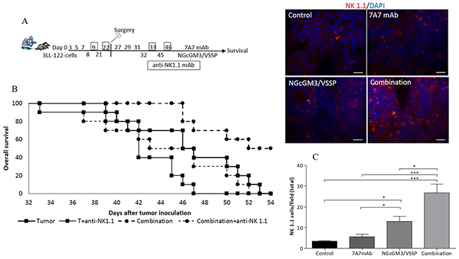 NK 1.1+cells are involved in increasing survival by the 7A7 mAb in combination with NGcGM3/VSSP vaccine on 3LL tumor-bearing mice.