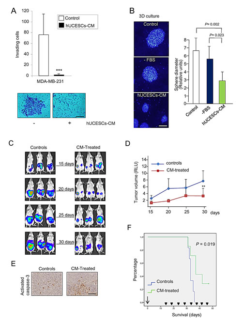 hUCESCs-CM inhibited invasion, 3D growth, and tumor volume in a xenograft mouse model.