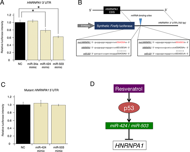 Direct regulation of oncogenic HNRNPA1 by the tumor-suppressive miRNAs, miR-424 and miR-503.