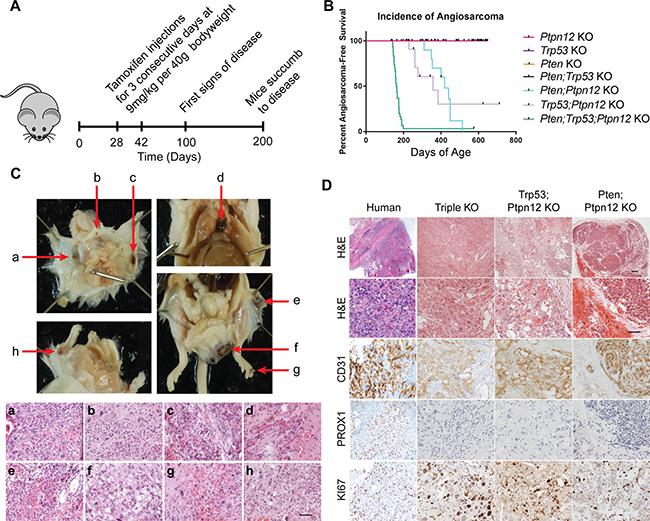 Ptpn12 deletion leads to angiosarcoma in mice.