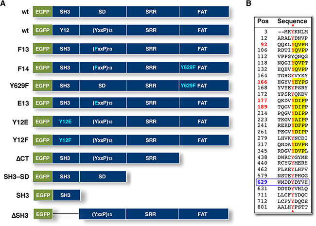 NEDD9 domains and mutant constructs.