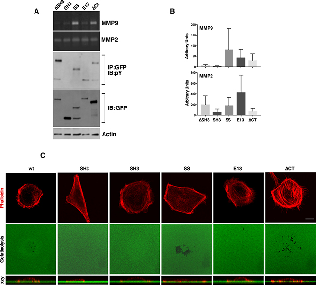 SD tyrosine phosphorylation and an intact SH3 domain are required for MMP9 secretion and invadopodia formation.