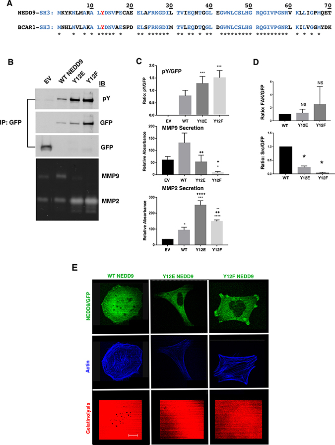 Effect of Y12 mutation on MMP secretion and invadopodia formation.