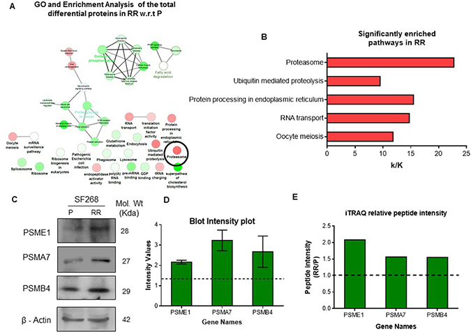Deregulation of proteasome pathway in the radiation resistant population.