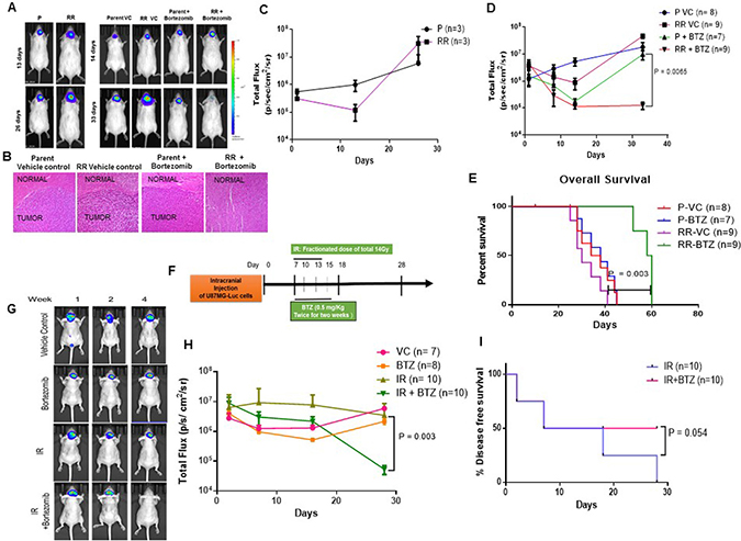 Proteasome inhibition reduces the tumorigenic potential of the cells in vivo.